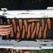 carrots 23